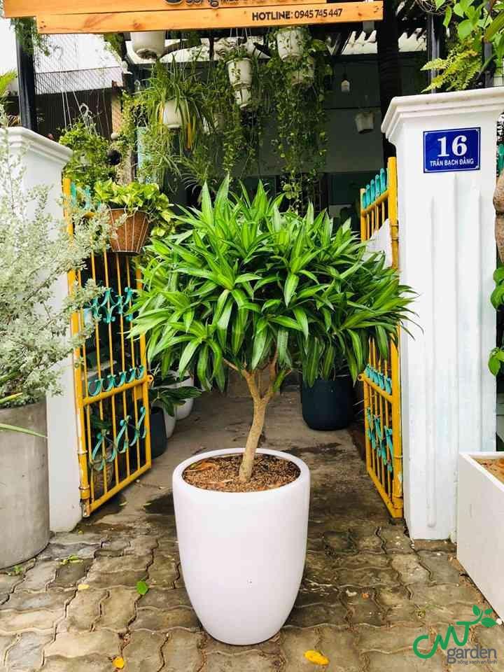 Cây Bách Hợp tại Đà Nẵng