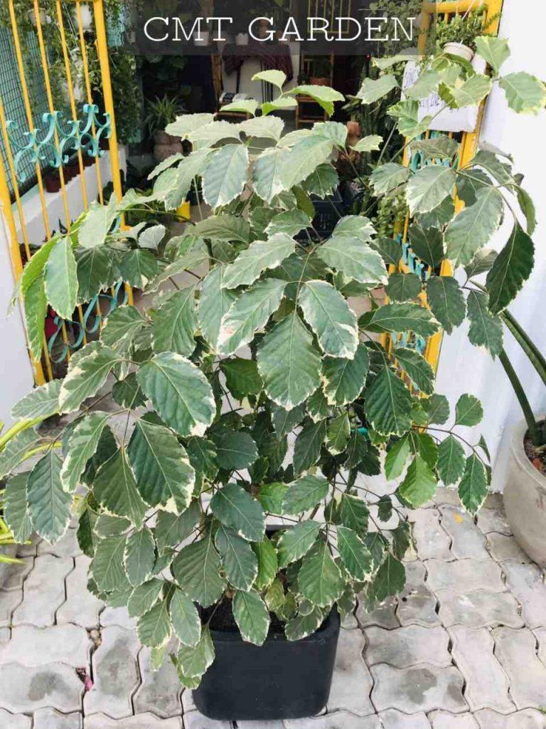 Cây Đinh Lăng (giống ngoại) tại Đà Nẵng