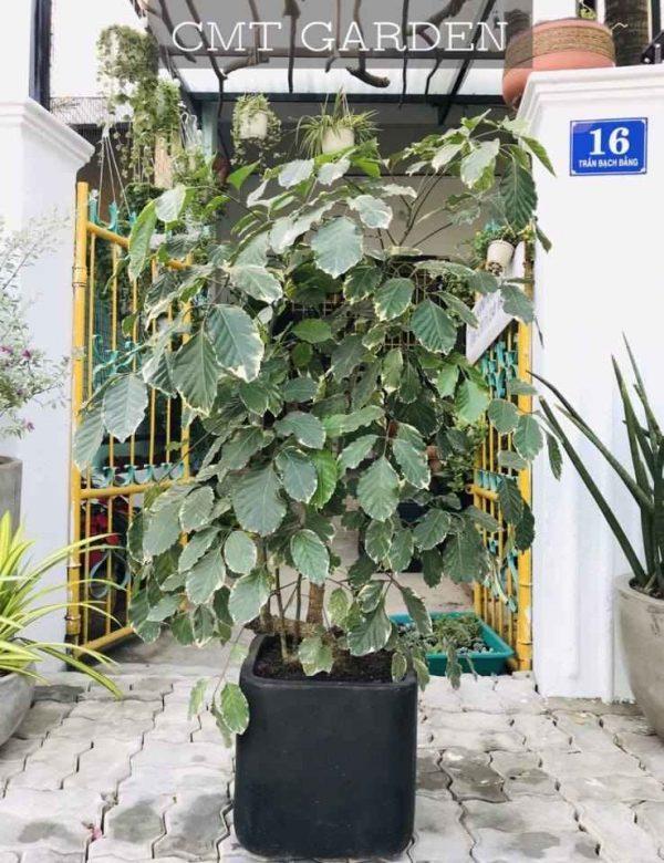 cây đinh lăng tại đà nẵng