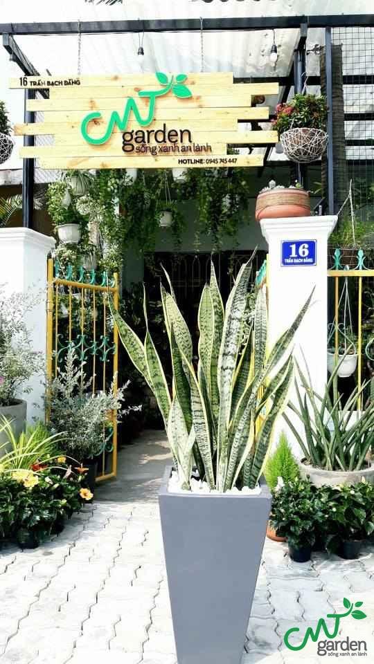 Cây lưỡi hổ cao tại Đà Nẵng