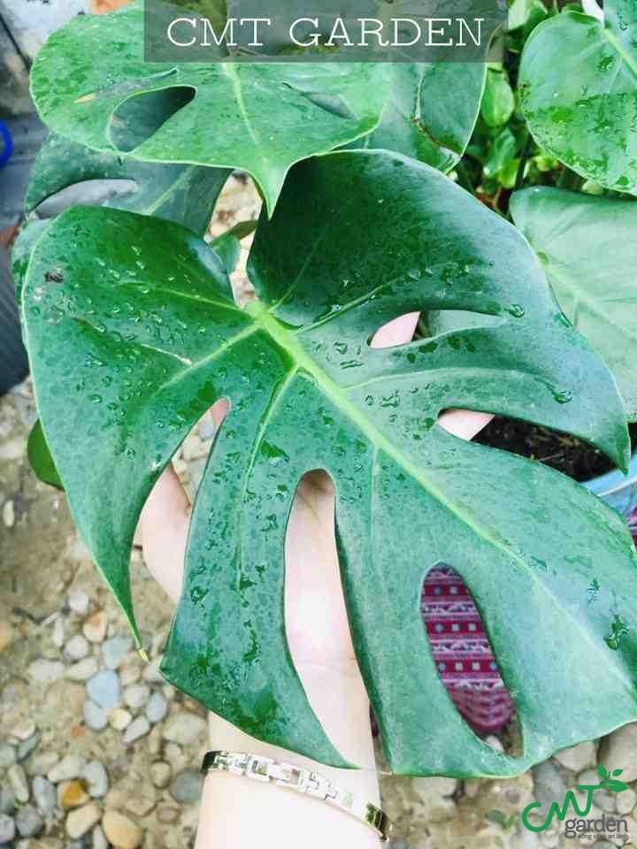 cây Trầu Bà Nam Mỹ (Monstera Deliciosa)