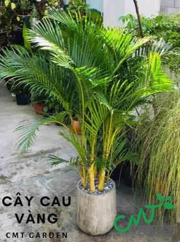 Cây Cau Vàng - Cây cảnh ưa nắng nhất