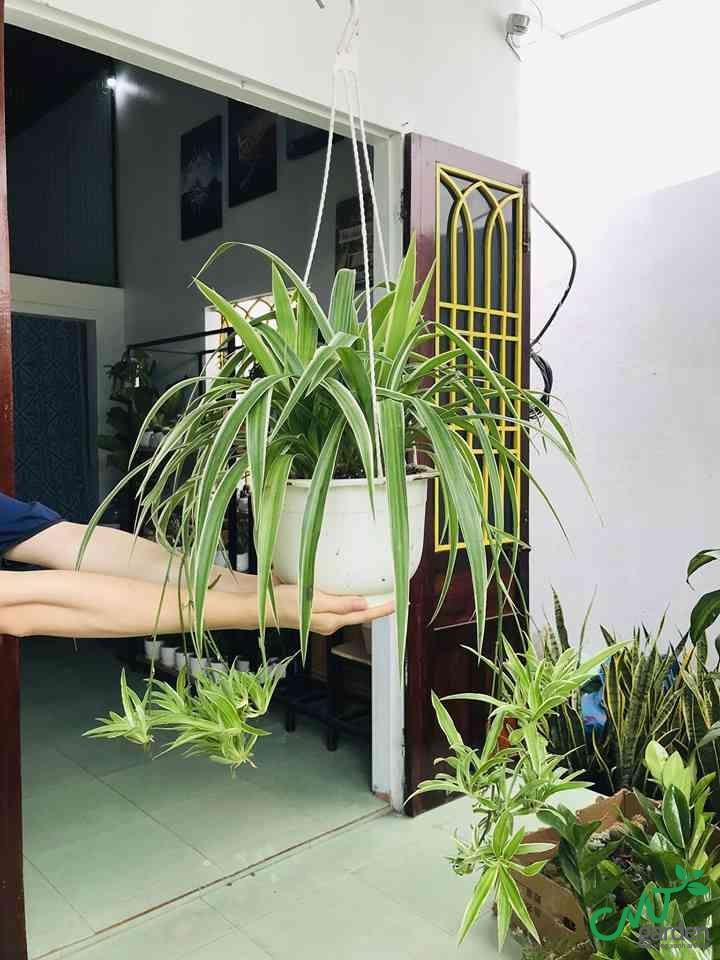 Cây mến khách được trồng trang trí ở ban công