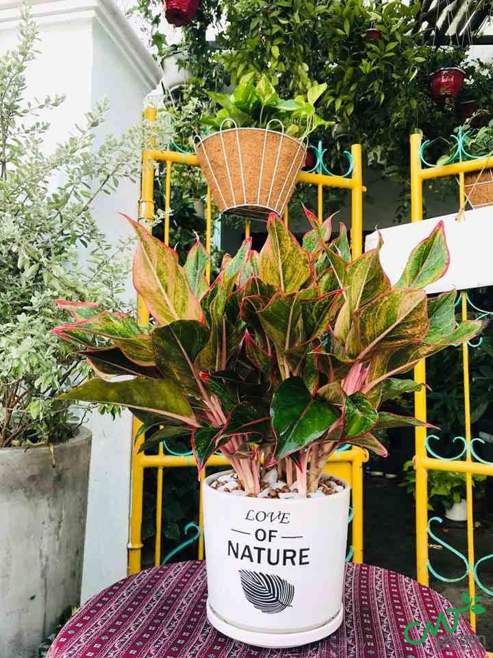 Cây Phú Quý mang ý nghĩa phong thủy may mắn