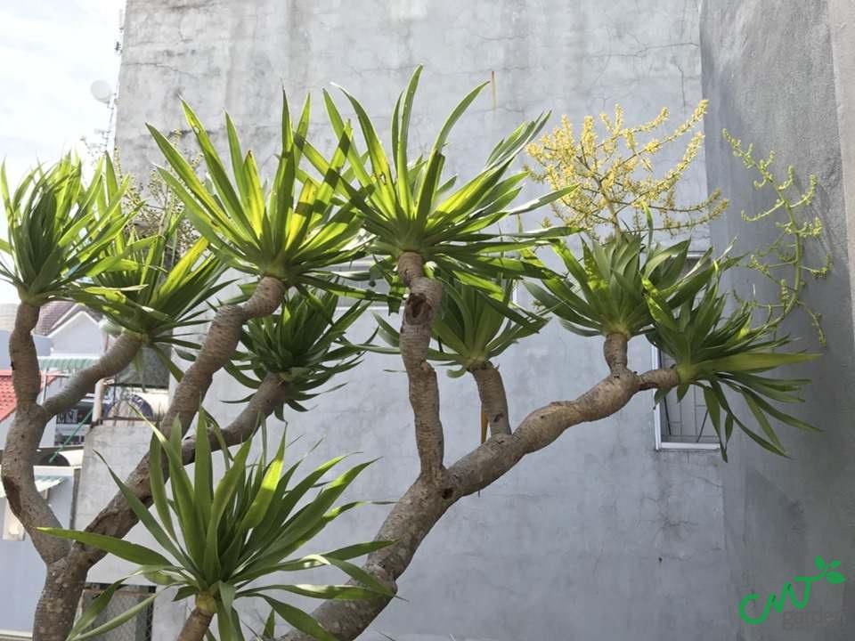 Cây Phát Tài Núi và những lưu ý khi trồng cây này