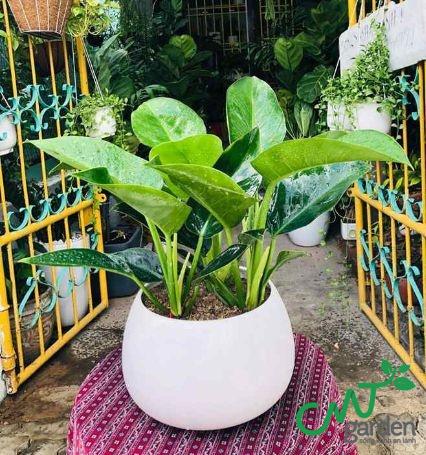 Cây Đế Vương có lá xanh thích hợp dùng trong trang trí