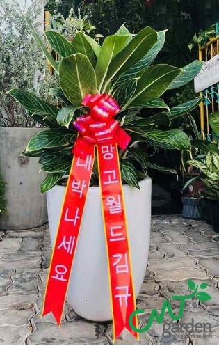 Cây Bạch Mã - Cây Khai Trương một cửa hàng do CMT GARDEN cung cấp