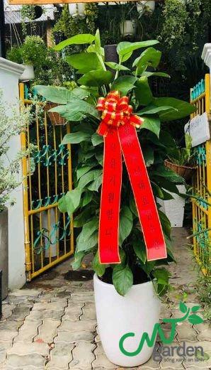 Tùng Trường Sinh cây tặng khai trương ý nghĩa do CMT GARDEN cung cấp