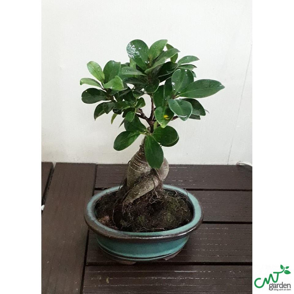 Cây bonsai văn phòng để bàn làm việc và những lưu ý khi trồng