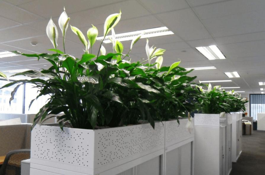 Cách chọn mua cây đặt văn phòng theo mệnh chuẩn xác nhất