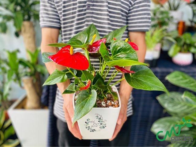 CMT Garden cung cấp cây hoa Hồng môn trang trí không gian của bạn