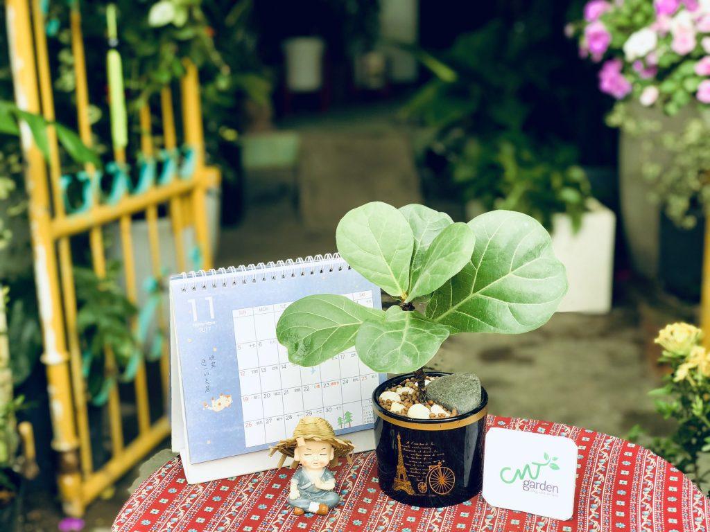 Cây bàng Singapore là loài cây yêu thích bóng râm