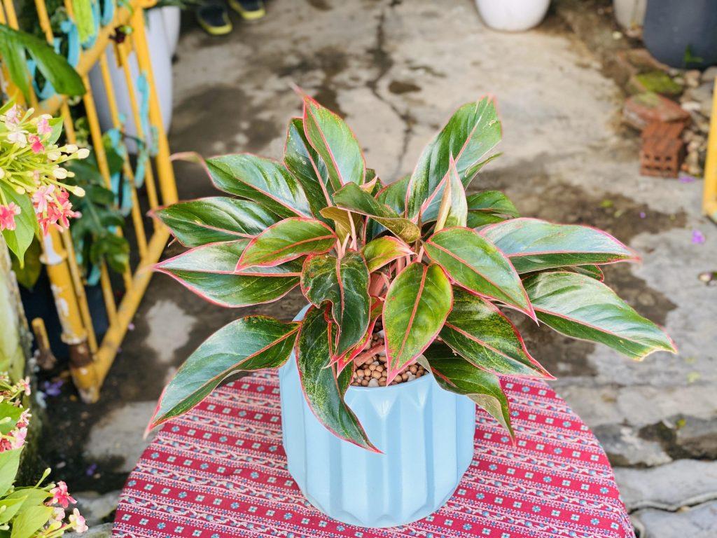 Khoa học chứng minh Phú Quý là loại cây tốt cho môi trường, sức khỏe
