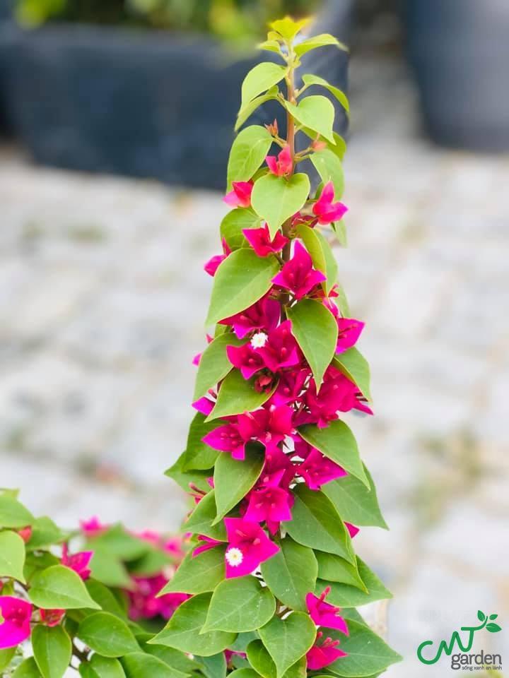 Cây ra hoa màu đỏ rất rực rỡ