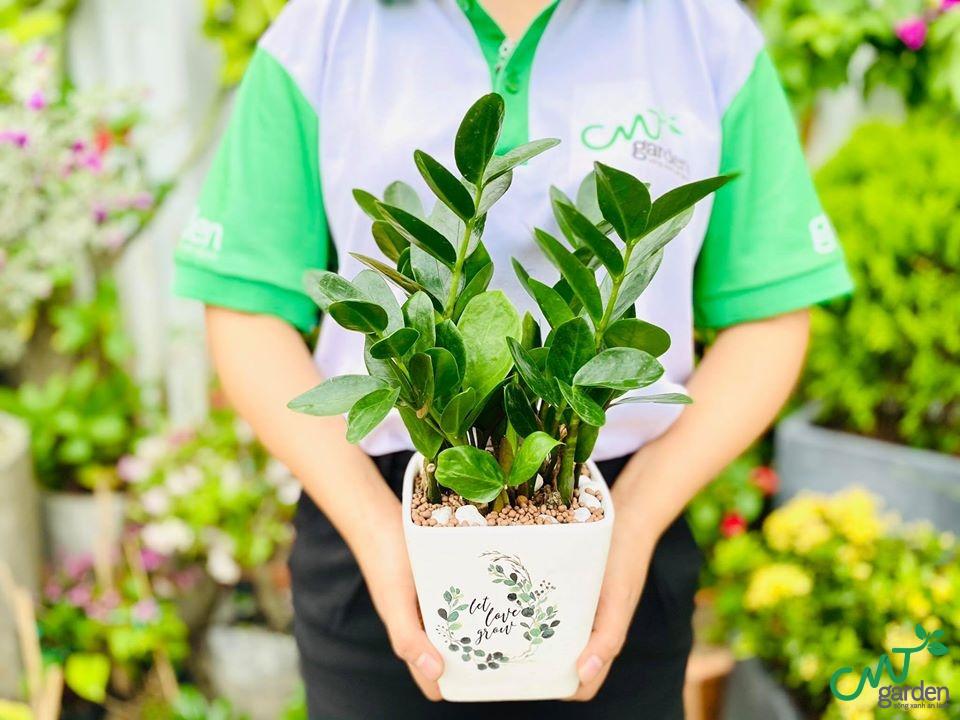Có nên để cây Kim Tiền trong nhà không?