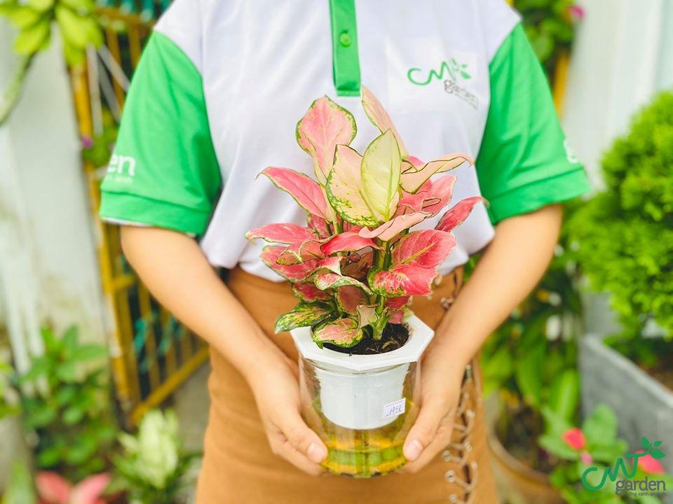Cây Vạn Lộc thủy canh có giá bán là 148.000 VNĐ
