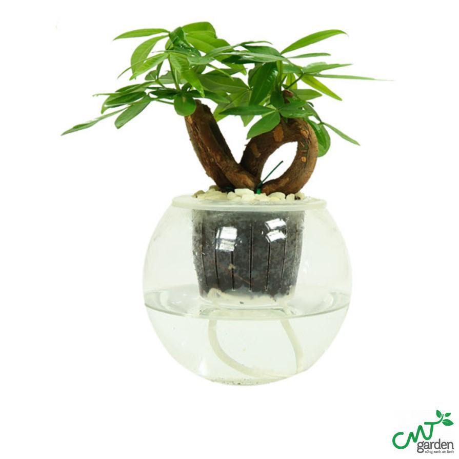 Bạn cần thay nước và đưa cây ra ánh sáng để giúp cây phát triển