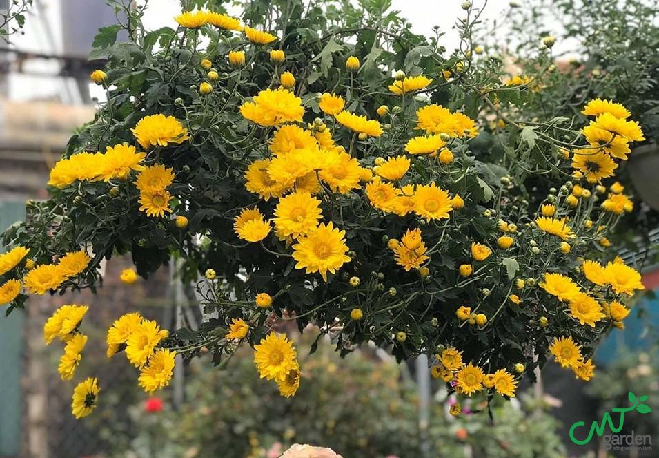 Hoa cúc hiện nay phổ biến khắp thế giới