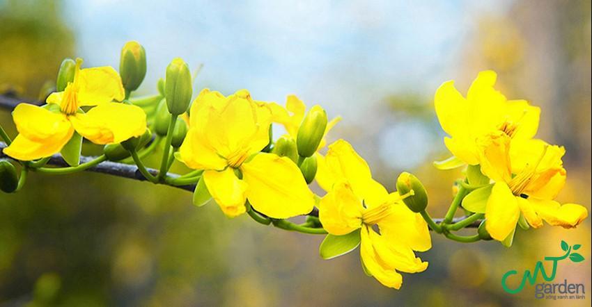 Hoa mai nằm trong bộ tứ quyền quý của Trung Quốc