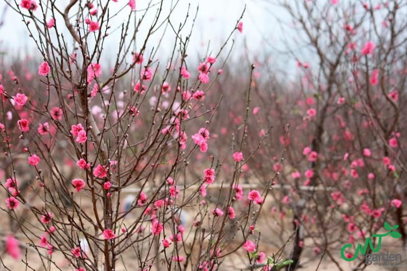 Trong phong thủy, cây hoa đào là biểu tượng cho sự may mắn, là tinh hoa của Ngũ hành