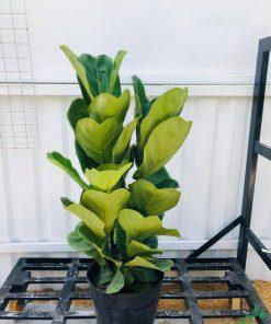 Cây bàng Singapore