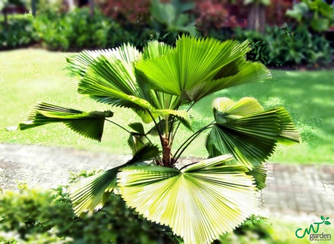 Cách chăm sóc cây cọ nhật như thế nào sao cho đúng?