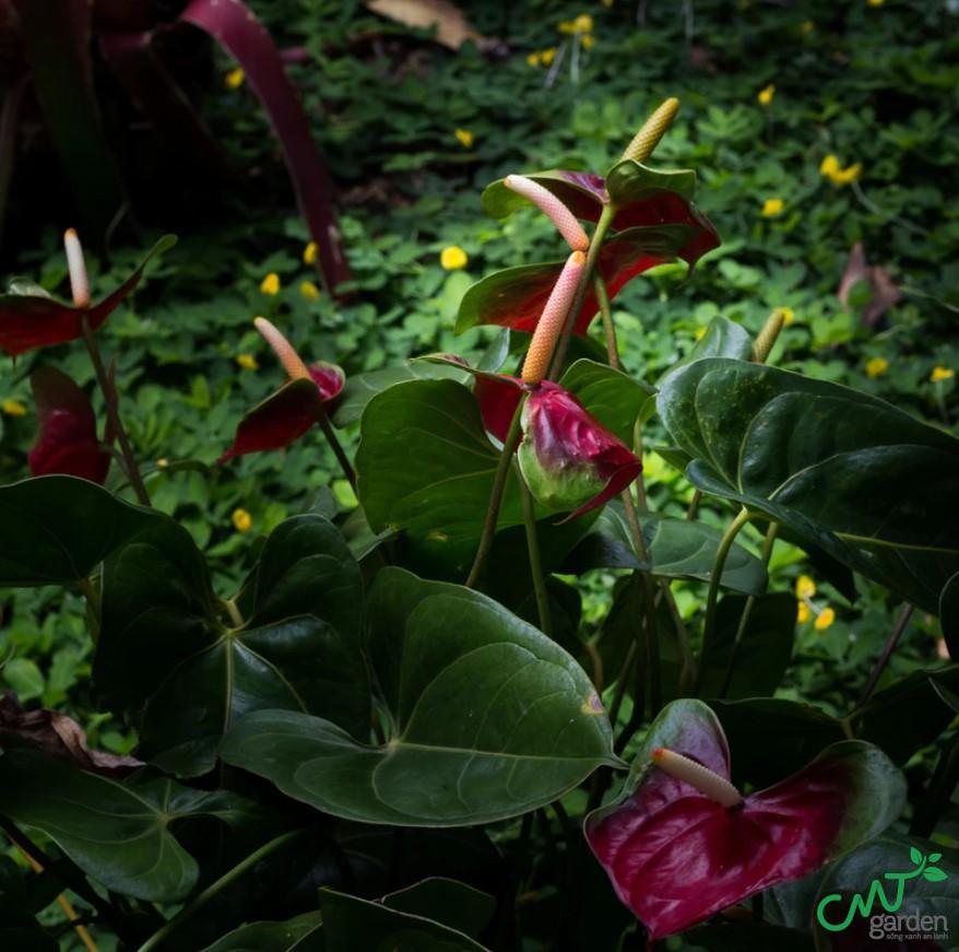 Hoa Hồng môn có nhiều màu rất đẹp