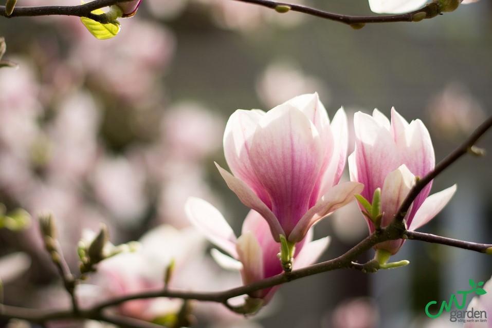 Hoa mộc lan có ý nghĩa quan trọng về mặt phong thủy
