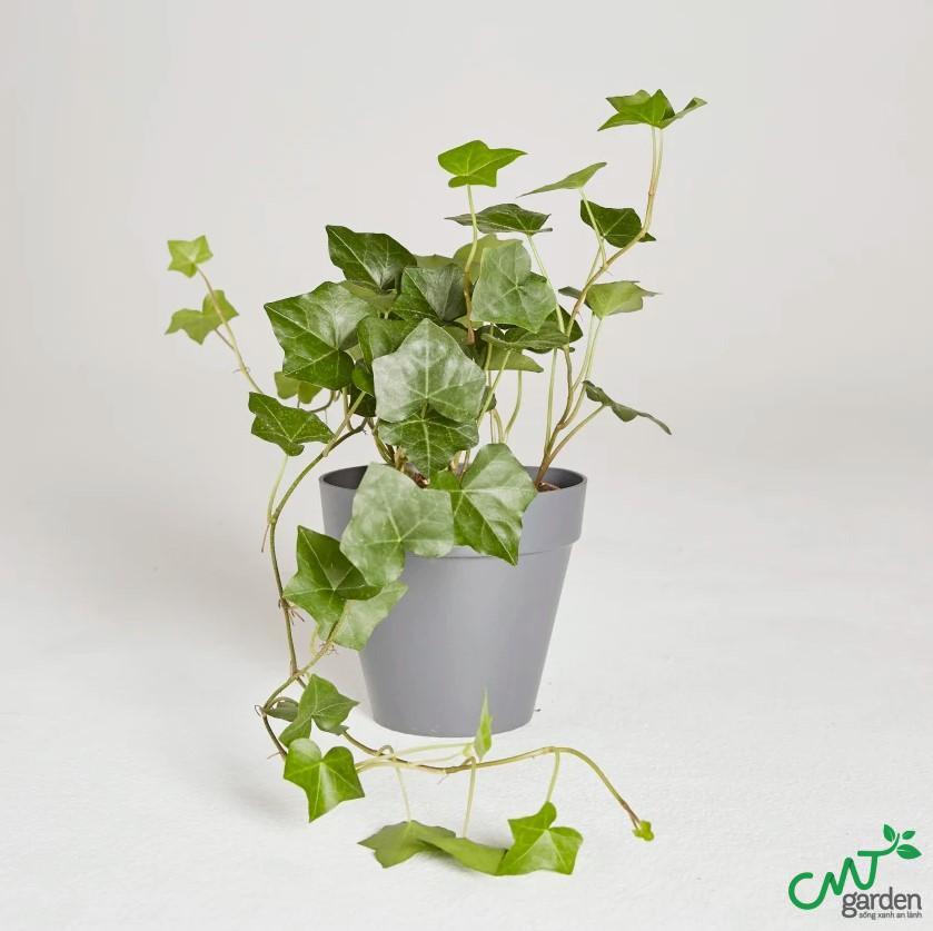 Muốn cây phát triển khỏe mạnh thì nên chú ý đến chế độ chăm sóc