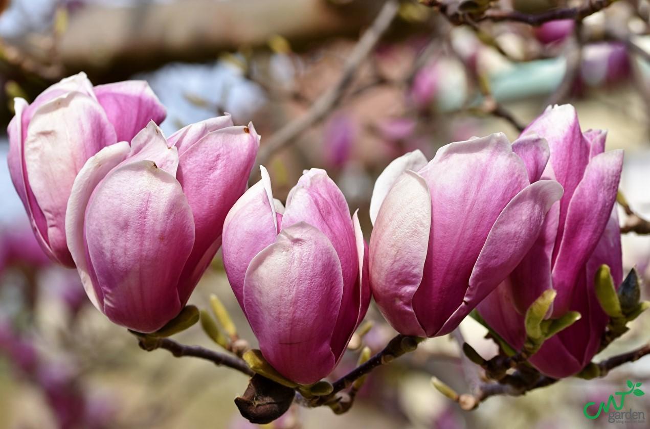Làm sao để chăm sóc hoa mộc lan đúng cách?