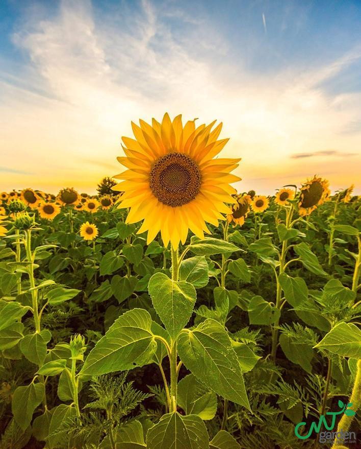 Loài hoa mặt trời được trồng cách đây khoảng 3000 năm TCN tại Arizona