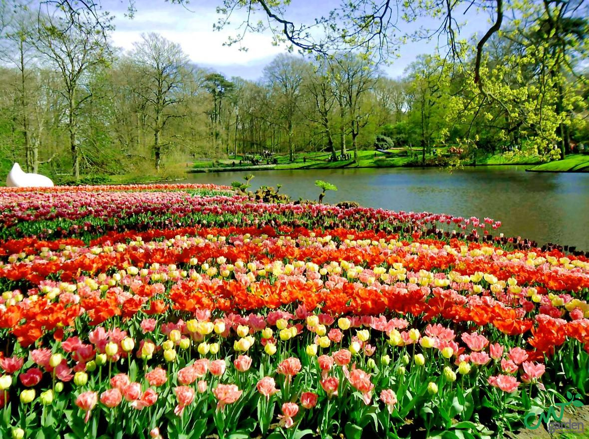 Tulip có nguồn gốc từ Trung Đông, được gia nhập vào châu Âu thế kỷ XVI