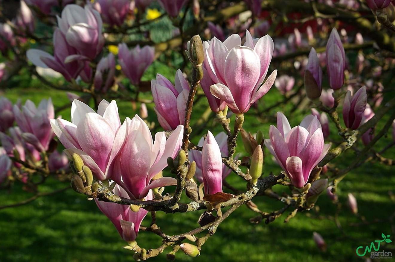 Hoa mộc lan được dùng để trang trí, có tính thẩm mỹ cao