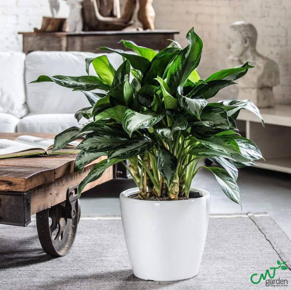 Cây có thể sinh trưởng tốt ngay cả khi trồng ở trong nhà