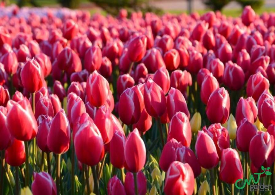 Tulip màu đỏ là loài hoa tượng trưng cho tình yêu, sự lãng mạn
