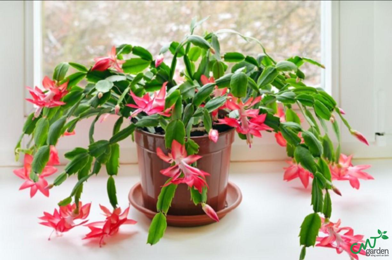 Xương rồng càng cua có nguồn gốc từ Brazil, hoa của giống xương rồng này rất đẹp và nhiều